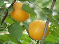珍珠杏苗 碩果累累 產量極高 不易脫落