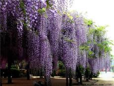 大量供应1米高度紫藤苗 品种纯正