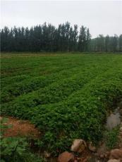 紅顏草莓苗基地 基地一手貨源充足量大優惠