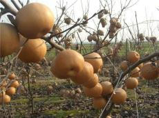 新高梨 爱宕梨 品种齐全