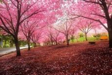 最热烈奔放的品种 广州樱