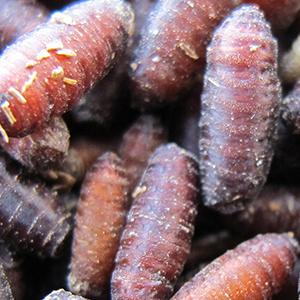 专业无菌苍蝇种 种蝇 种蛹 蝇蛆种