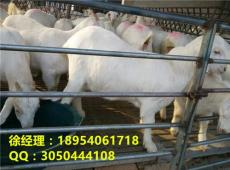 美國白山羊價格白山羊在江西哪里能買到