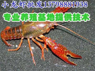 宁远蓝山水产市场淡水鲜活小龙虾