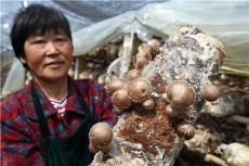 春婷食用菌蘑菇