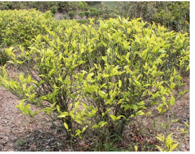 白叶单丛茶一斤多少钱价格-茶农自产种植