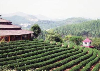 大南山茶批发-大南山茶生产厂家