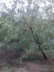 山东枣庄枣树基地供应1-60公分枣树