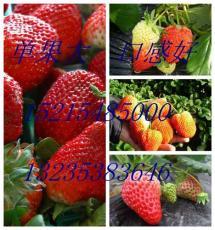 山東草莓苗批發基地 草莓苗價格哪里最低