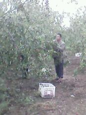 出售枣树 供应枣树 批发枣树