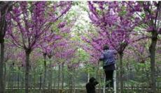巨紫荊價格行情 巨紫荊價格說明