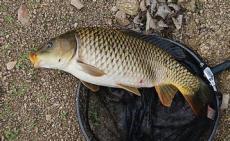 鯉魚飼料添加劑促生長