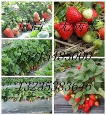 草莓苗幼苗出售