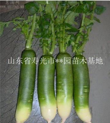 立秋时节潍坊青萝卜开始种植了