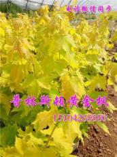 彩叶风景树-普林斯顿黄金枫-风之情