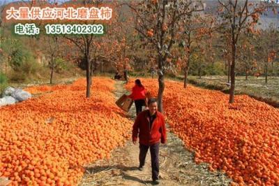 供应最大的磨盘柿子河北省保定市满城区柿
