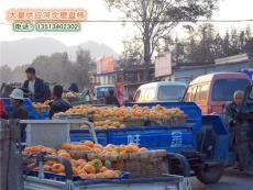 出售河北保定柿子沟磨盘柿子 中国磨盘柿之