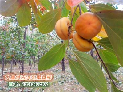 河北保定特产磨盘柿子正在大量上市 欢迎采