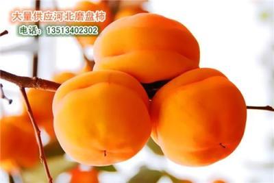 河北保定冻柿子大量批发 大量出售磨盘柿