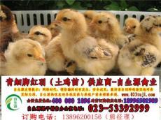 新生雏鸡需防炎症