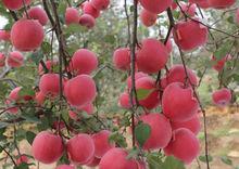 出售蘋果苗 蘋果苗價格 蘋果苗 蘋果苗基地