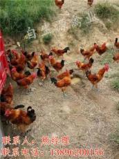林下种草养鸡饲养管理技术