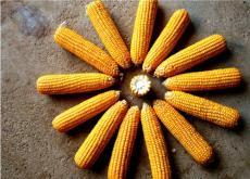 2016年9月21日全國玉米價格行情為什么低