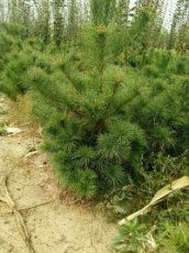 北方绿化 荒山造林华山松80公分3米2米