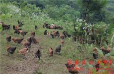 私人定制高端生态农产品红甸宏红土养殖基地