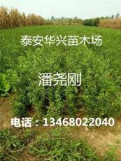 大量供應30 40 50 60公分枸橘苗