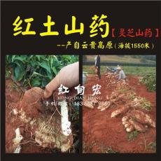 灵芝山药2016年秋季新鲜上市 云南红甸宏