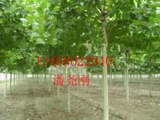 供应5-20公分法桐 法桐价格 华兴苗木场