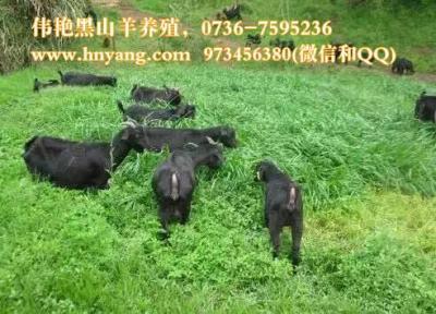 牧草种植养殖黑山羊技术