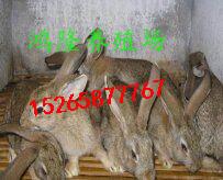 農村發展養殖兔子肉兔養殖加盟