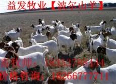 波尔山羊孕羊种公羊品种价格