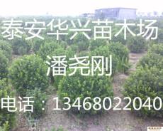 供應1米衛矛球 1.2米 1.5米衛矛球價格