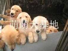 云南有没有狗场 去哪里能买到金毛犬 纯种