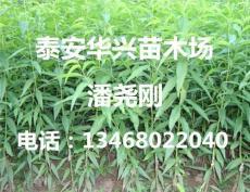 桃樹占地苗價格 3 5 8 10公分桃樹苗價格