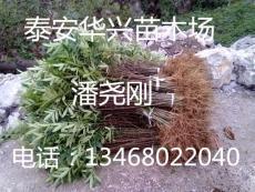 基地批发花椒苗 0.3 0.4公分花椒苗价格