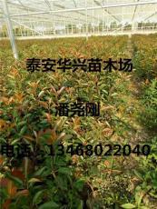 基地批发2米红叶石楠 3米红叶石楠