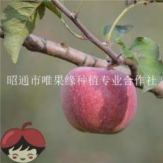 批發云南昭通蘋果糖心丑蘋果紅富士蘋果