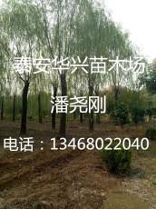 基地批發胸徑30公分 35公分垂柳