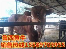 批發魯西黃牛3-5月齡小牛犢 繁育種牛