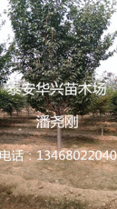基地批發20公分櫻花 櫻花價格 櫻花產地