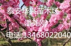 大量供應6公分 8公分榆葉梅 榆葉梅產地
