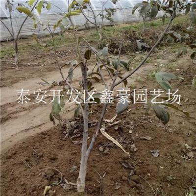 处理3公分嫁接核桃树 山东核桃树种植基地