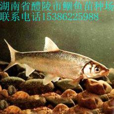 鲴鱼鱼苗价格