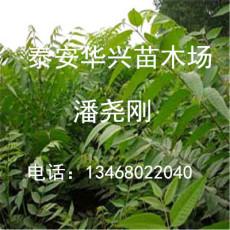 供應10公分香椿 香椿價格 香椿品種