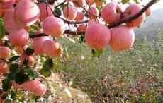 沂源紅蘋果