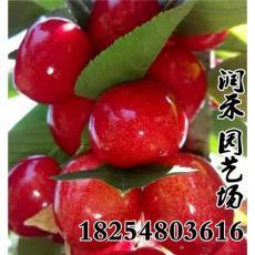 櫻桃苗那個品種好產量高